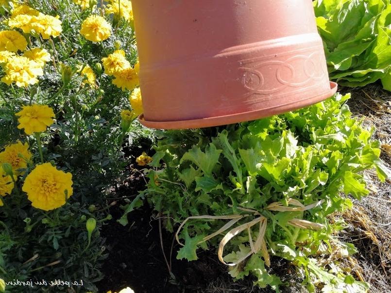 Comment cultiver des salades frisées ?