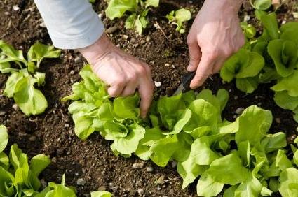 Comment faire pour planter des salades ?