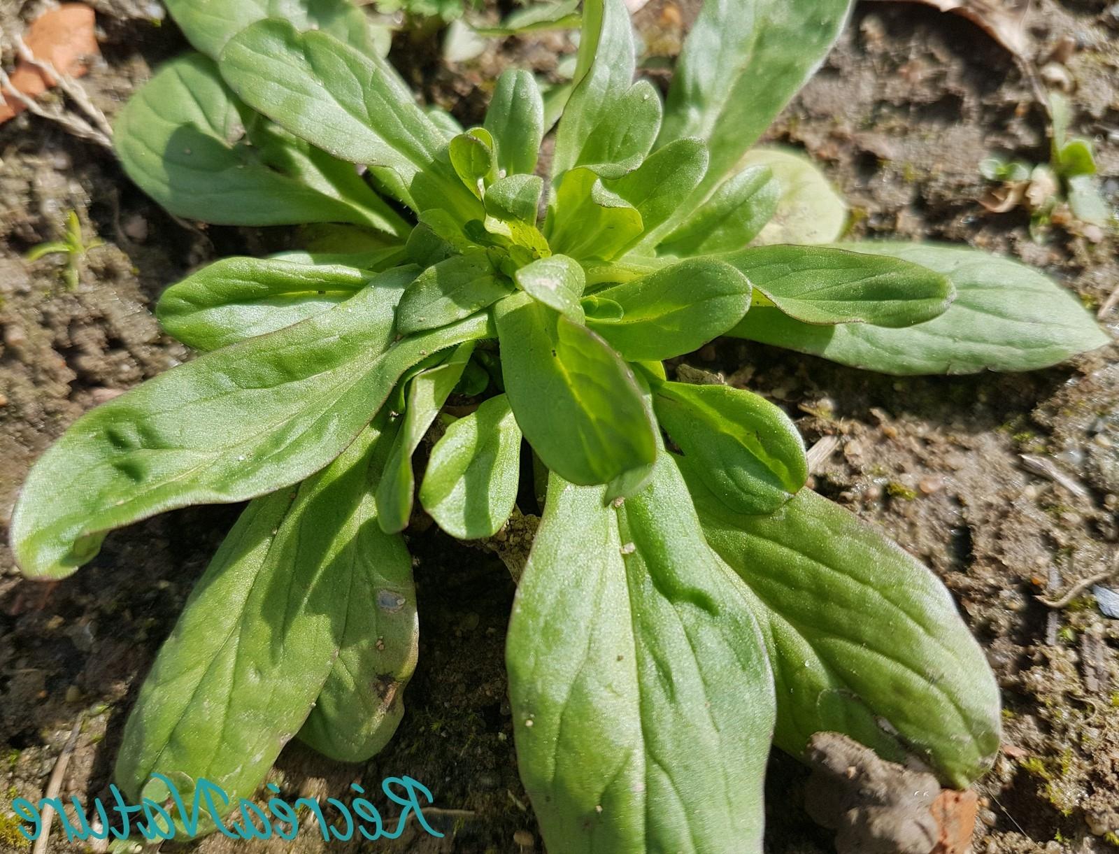 Comment faire pousser des salades rapidement ?