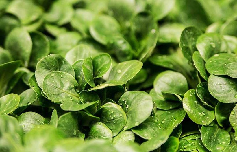 Comment planter des graines de salade ?