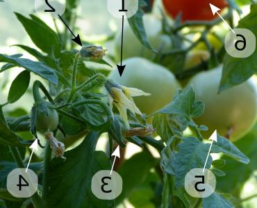 Comment s'appelle le pied de tomate ?