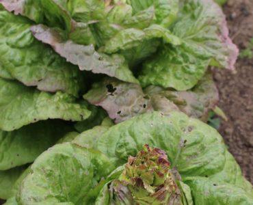 Comment se reproduisent les salades ?