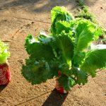 Est-ce bon de manger de la salade tous les jours ?