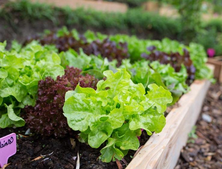 Quand planter les plants de salades ?