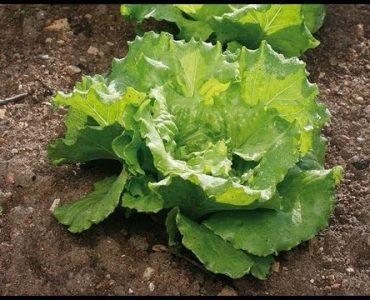 Quand planter les salades pour l'hiver ?