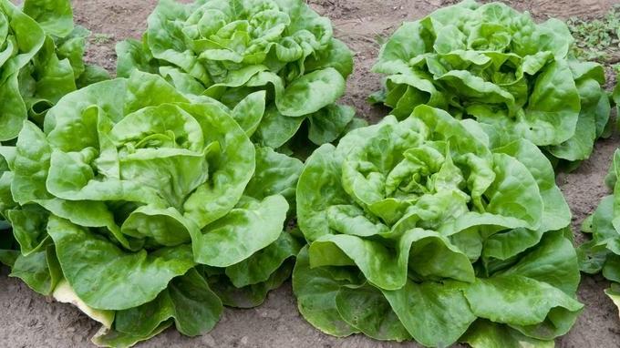 Quand planter salade en godet ?