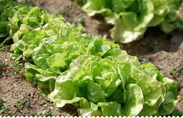 Quand repiquer les semis de salades ?