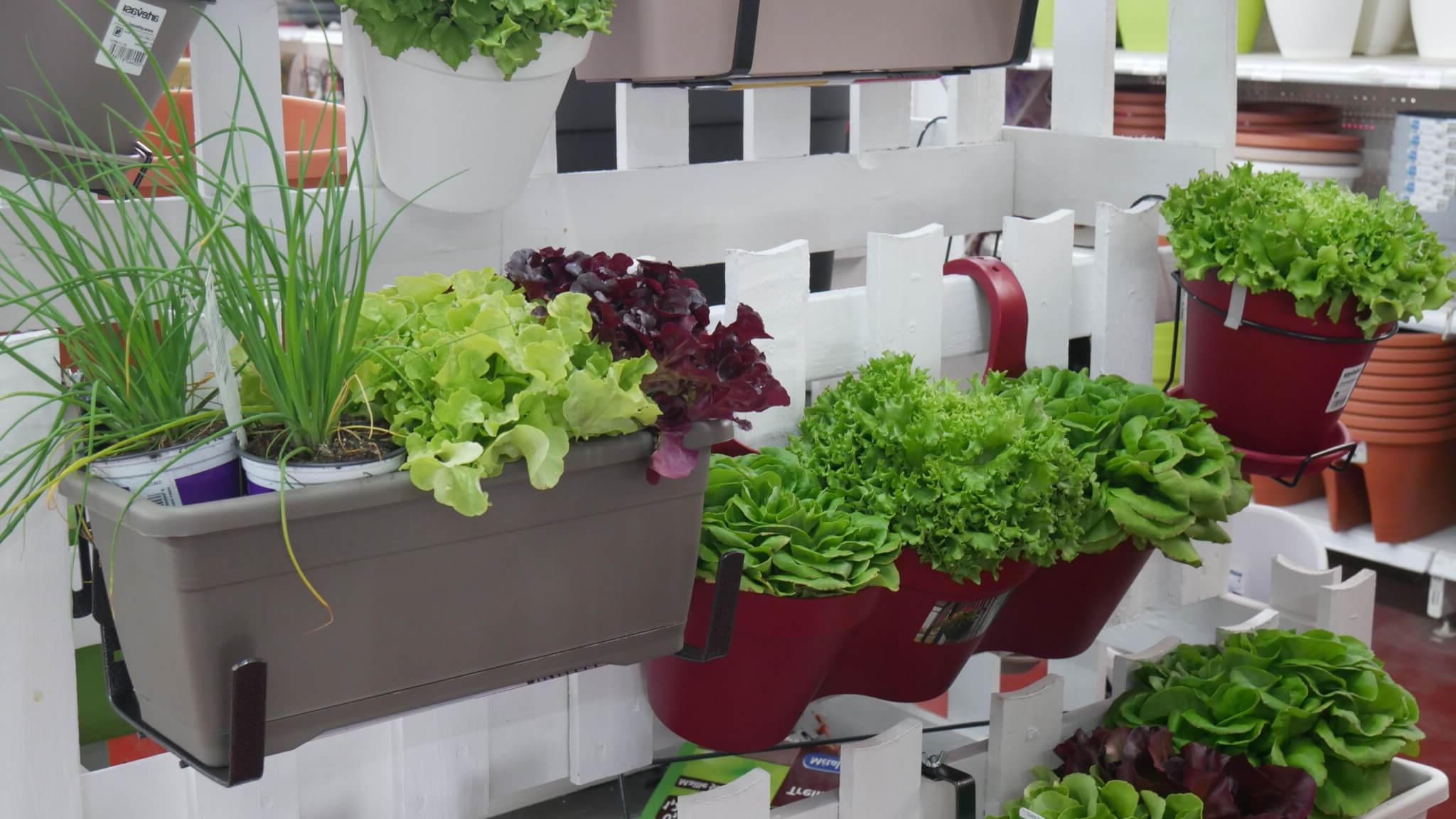 Quel engrais naturel pour les salades ?