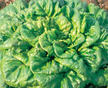 Quelle est l'origine de la salade ?