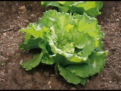 Quelle salade planter au mois de septembre ?