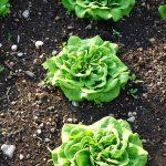 Quelle salade Peut-on semer en juillet ?