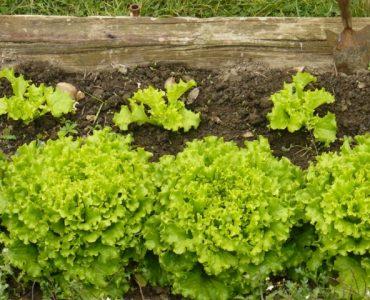 Quelle salade planter maintenant ?