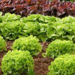 Quelle variété de salade pour l'hiver ?