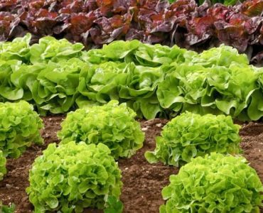 Quelle sorte de salade à semer en juillet ?