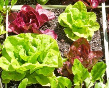 Quelle variété de salade ?