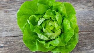 Quelle variété de salade à semer en février ?