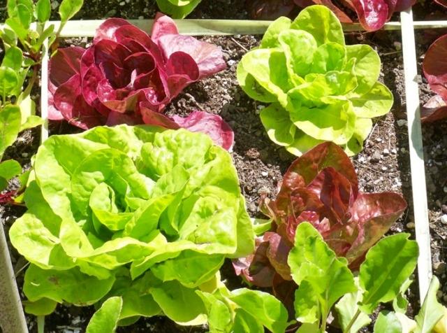 Quelle variété de salade à semer en janvier ?