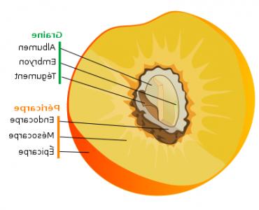 Qu'est-ce qui définit un fruit ?